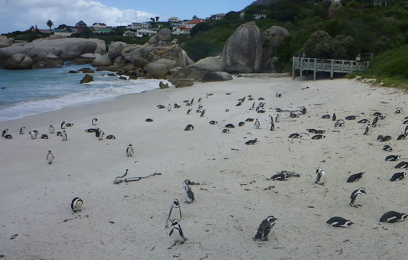 Pinguine in Süadafrika