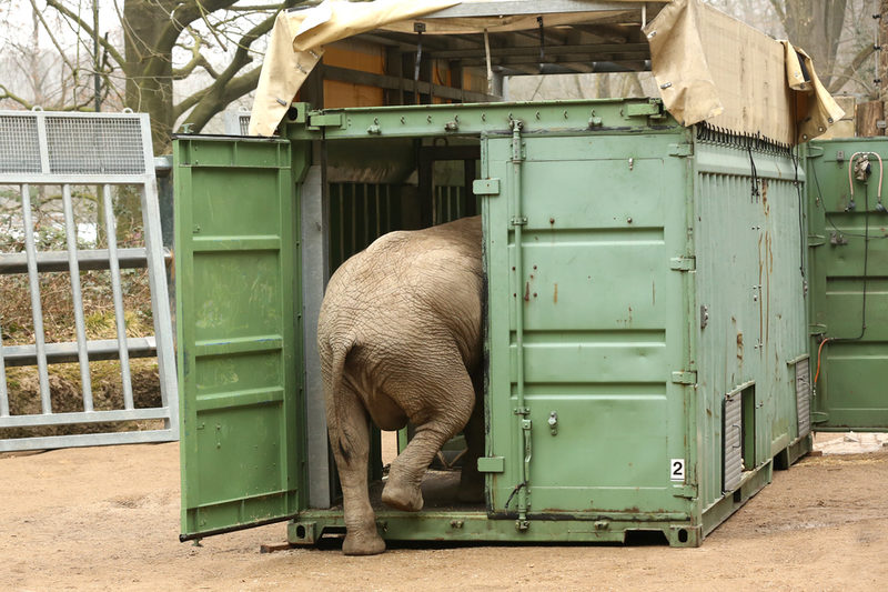 Elefant geht in Container