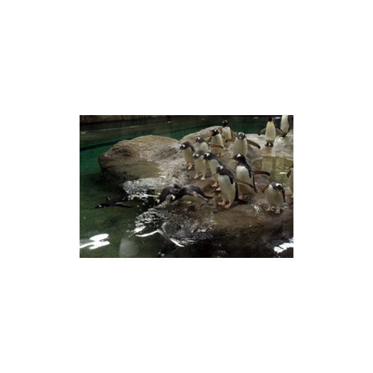 Zoo/Pinguinanlage Eselspinguine 300x200